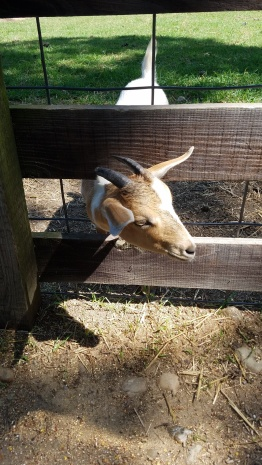 Goats stick their heads through the fence for feed.